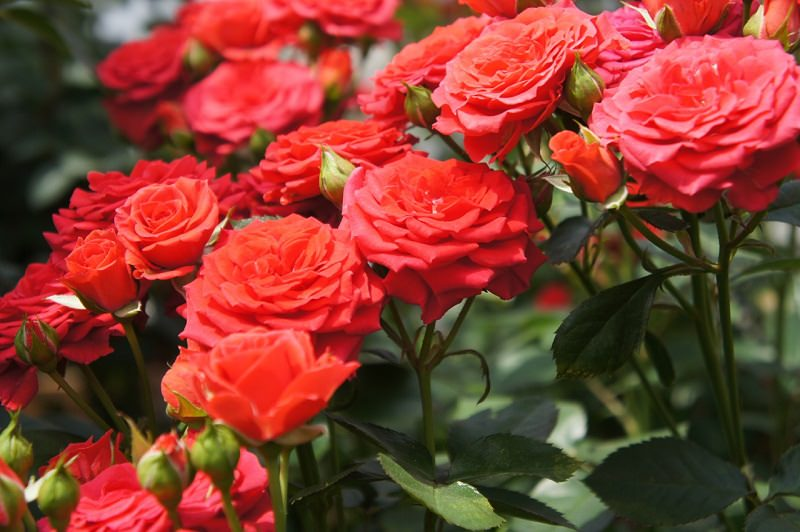 Keep Roses